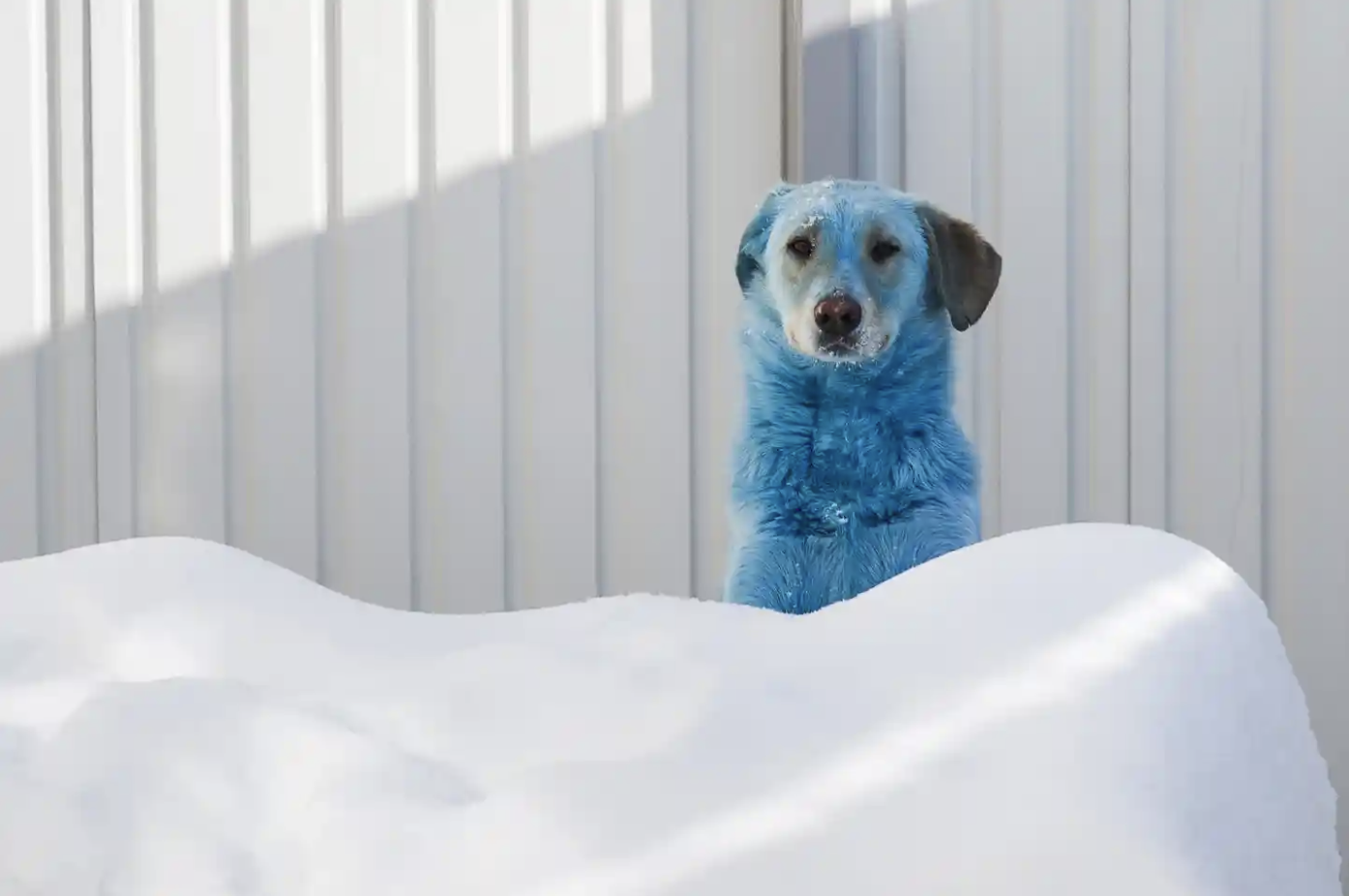 Dzerzhinsk, Russia: thirteen stray dogs were found unintentionally dyed blue due tot he exposure of prussic acid near a glass factory.